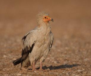 Scavenger Vulture