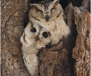 Oriental Scoops Owl