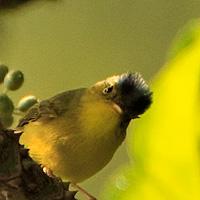Grey-crowned Warbler