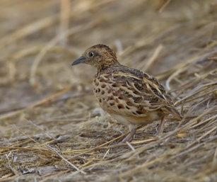 small-button quail
