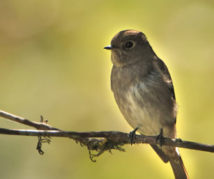 Sooty Flycatcher