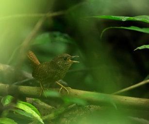Spotted Wren Babbler