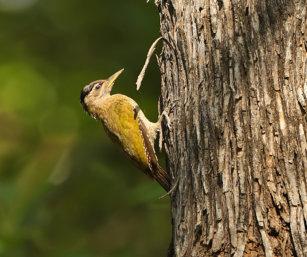 streak-throated woodpecker