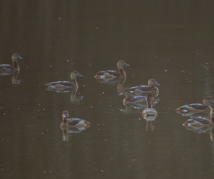 Common teals
