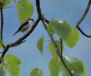 white-browed shrike babbler
