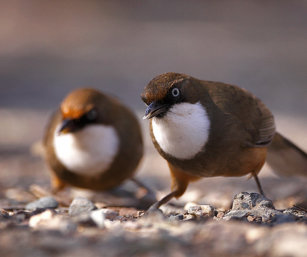 white-throated laughin thrush