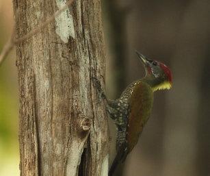 yellow-nape woodpecker