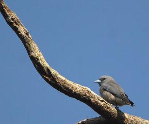 Ashy Wood Swallow