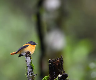 Black & Orange Flycatcher
