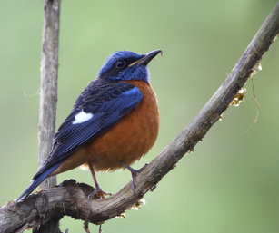 Blue-capped Rock Thrush