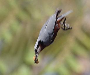 Chestnut-Bellied Nutach