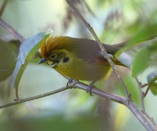 Chesnut-tailed Minla