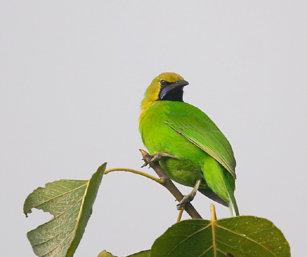 Blue-Winged Leaf Bird