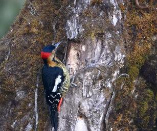 Darjeeling Woodpecker