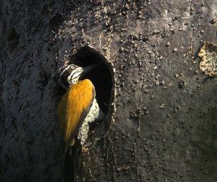 Great Flameback Woodpecker
