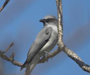 Large Cuckoo Shrike