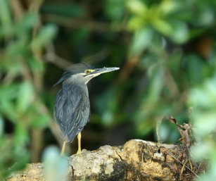 LITTLE Heron