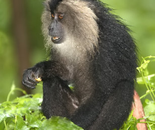 Lion-tailed Macque