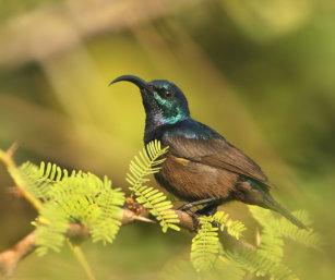 Lotens Sunbird