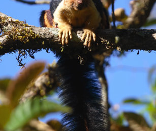 Malabar Gian Squirrel