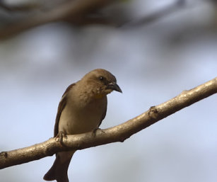 Chesnut-shouldered Petronia