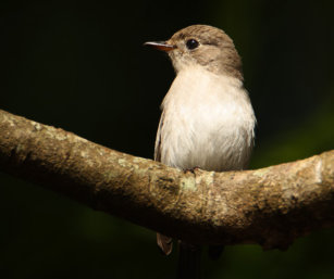 Flycatcher