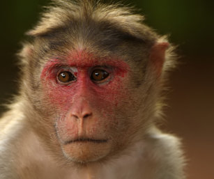 bonnet macaque