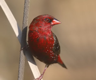 Red Avadat