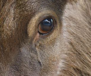 Sambar eye