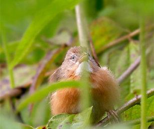 Tawny-Bellied Babbler