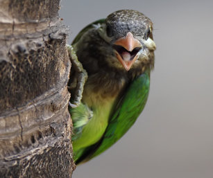 White-cheecked barbet