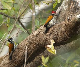 Greater Flameback Woodpecker