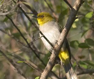 Yellow-Throated Bulbul
