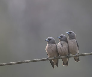 Ashy Wood Swallow