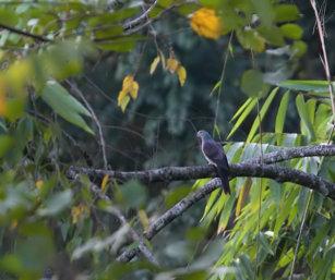 Barred-collared Dove