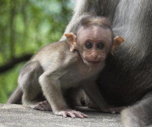 Bonnet Macaque Baby