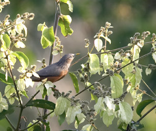 Chesnut-Tailed Starling