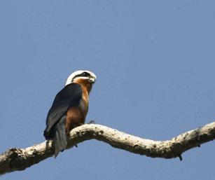 Collard Falcon