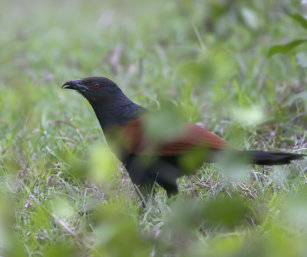 Indian Coucal