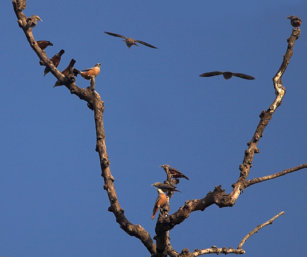 Chesnut-tailed Starlings