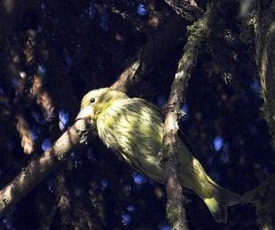 Finch (ID)