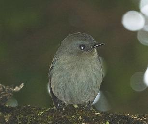 Fly Catcher (ID)