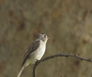 Flycatcher (ID)