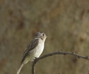 Flycatcher (ID)