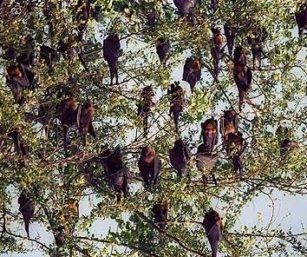 Flyingfoxes