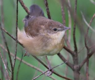Broad-tailed Grassbird