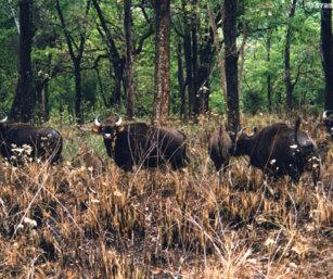 Gaur Herd