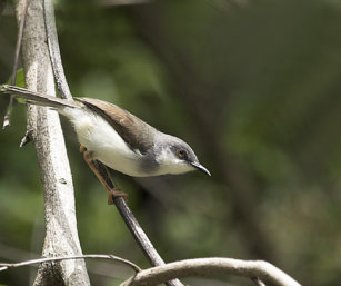 Grey-Breasted Prinia