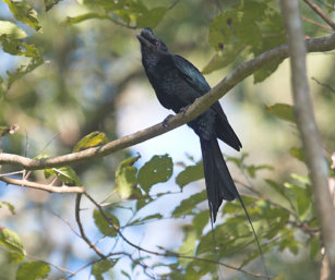Greater Racket-Tailed Drongo