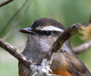Grey-breasted Laughing Thrush